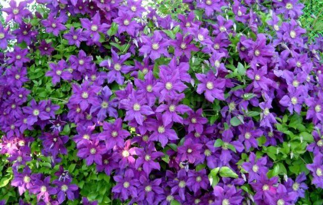 Весенняя подкормка клематисов для обильного и пышного цветения