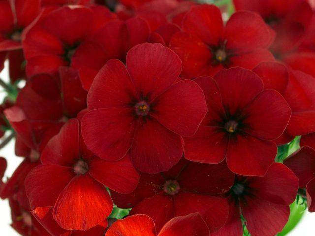 Флокс Друммонда с удивительными цветами различных форм и окрасок