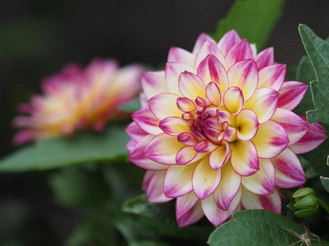 Пасынкование георгинов: залог шикарного и пышного цветения