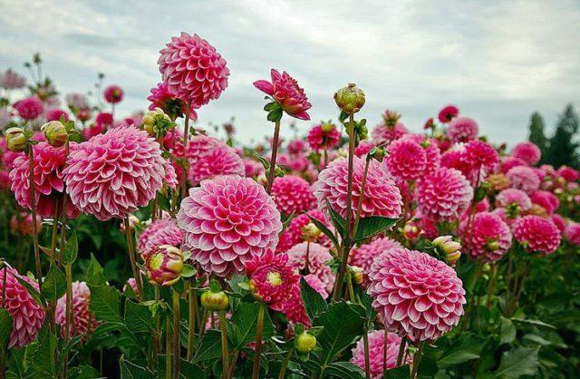 Чем подкормить георгины для обильного цветения и быстрого роста