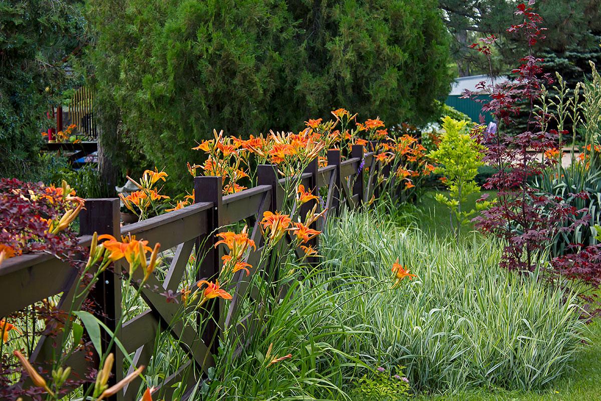 Лилейники: посадка и уход в открытом грунте весной