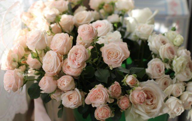 Потрясающая шарообразная роза Леди Бомбастик с бархатными лепестками