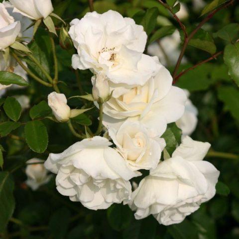 Плетистая роза Айсберг – белоснежная королева, покоряющая своей нежностью и красотой