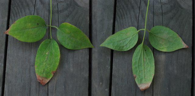 Клематис сохнет и желтеет: как быстро оживить и спасти растение