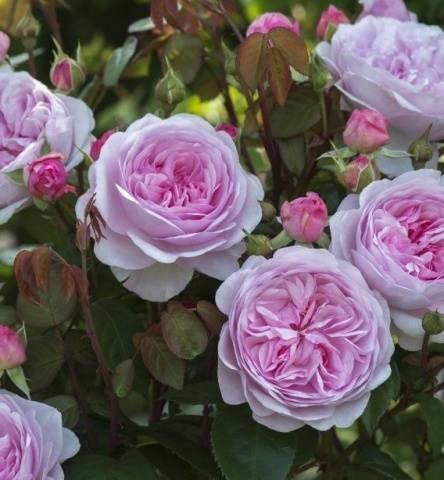 Роза оливия роуз остин энциклопедия роз