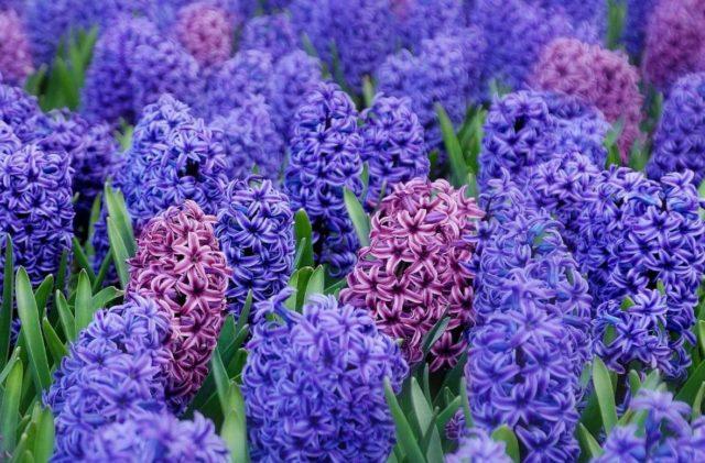 Как вырастить гиацинты – волшебный аромат весны
