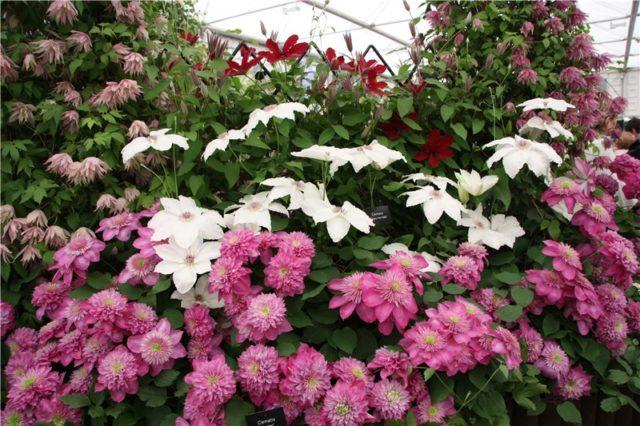 Роскошный клематис Кайзер с крупными и пышными цветами