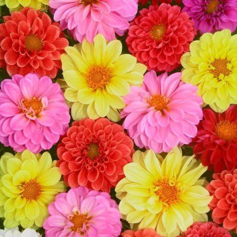 Помпонные георгины с махровыми шаровидными соцветиями: сорта + выращивание