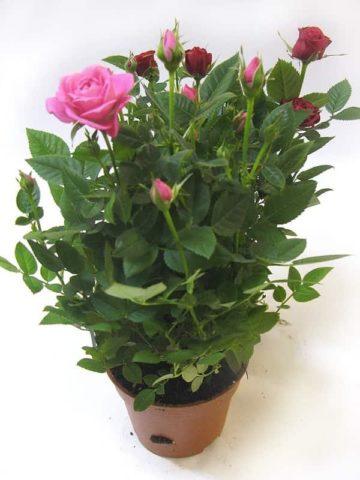 Плетистая роза Парад с шелковыми цветами горящего розового цвета