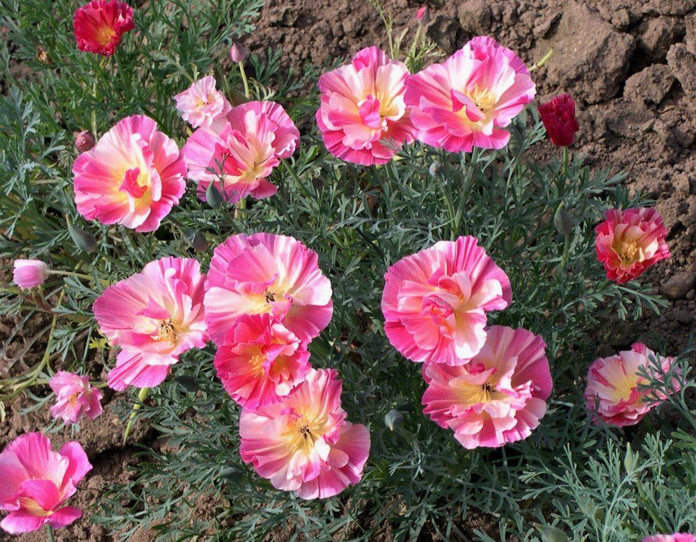 Эшшольция – мягкие шифоновые цветы