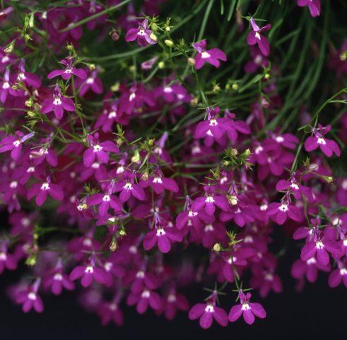 Лобелия ампельная – цветочный водопад в подвесных кашпо или балконных ящиках