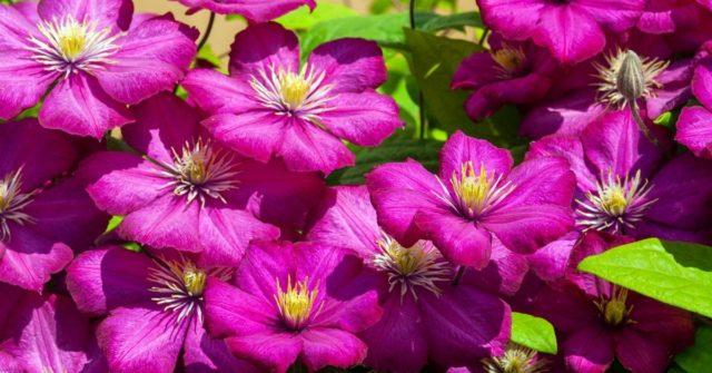Секреты роскошного цветения клематиса