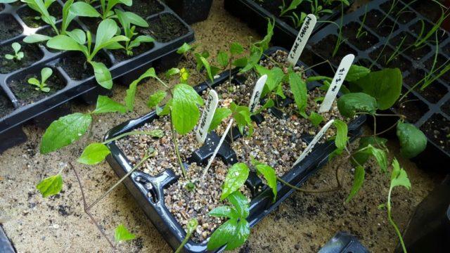 Надежные и эффективные способы размножения клематисов в домашних условиях
