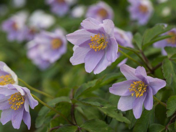 Анемона дубравная – нежная и хрупкая красавица с белоснежными цветками