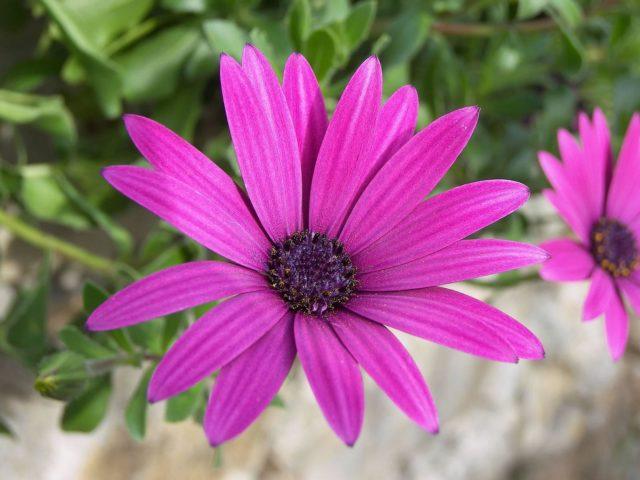 Как вырастить анемоны из клубней: шпаргалка для начинающих цветоводов