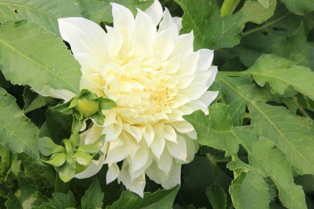 Безупречная георгина Перфекшн с огромными цветами невероятной красот
