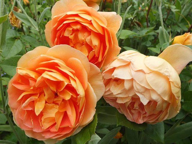 Изумительная роза Пэт Остин с медно-оранжевыми цветами и неповторимым ароматом