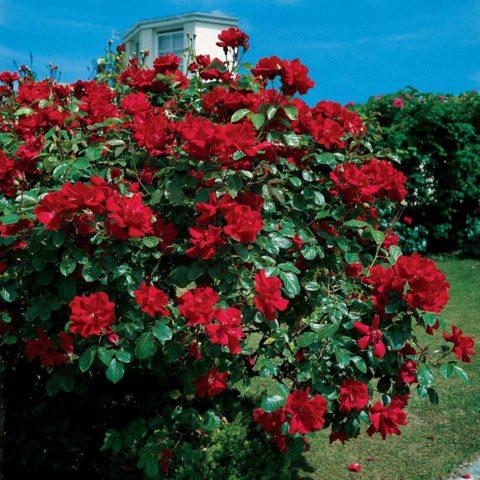 Невероятно красивая Роза Дон Жуан с ярко-красными махровыми цветами