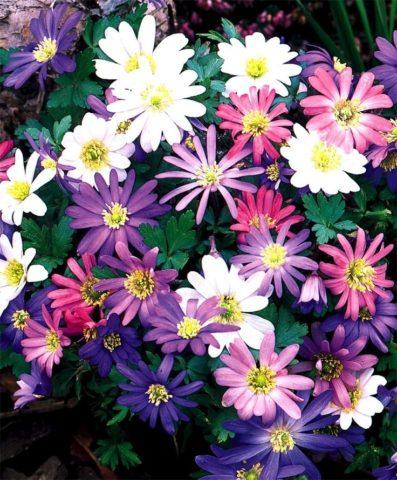 Анемона Бланда – чарующий первоцвет для весеннего сада