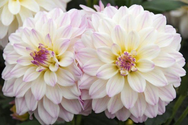 Карликовые георгины-лилипуты - обзор лучших сортов + инструкция по выращиванию