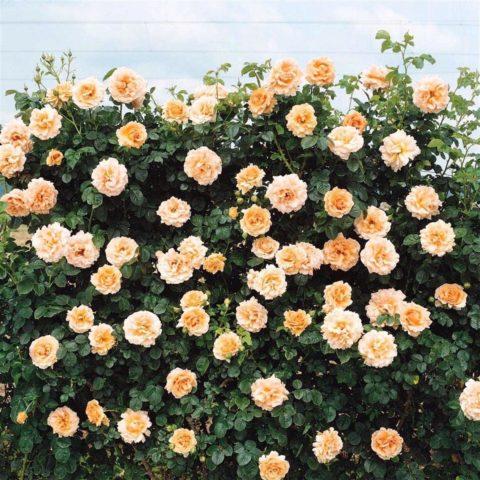 Необычная роза Полька – перламутровая роскошь с огромными кружевными цветами