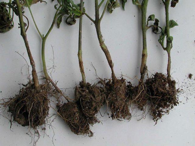 Выращивание бархатцев из семян: проверенный и надежный способ