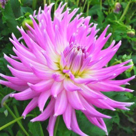 Восхитительная георгина Мингус с пышными и крупными цветами