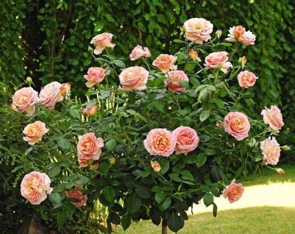 Неприхотливая роза Чарльз Остин с цветками абрикосового цвета и фруктовым ароматом