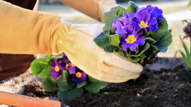 Как вырастить многолетнюю примулу – красочный ковер на тенистых грядках