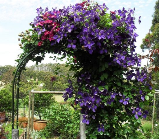 Как правильно посадить клематис весной: простой метод