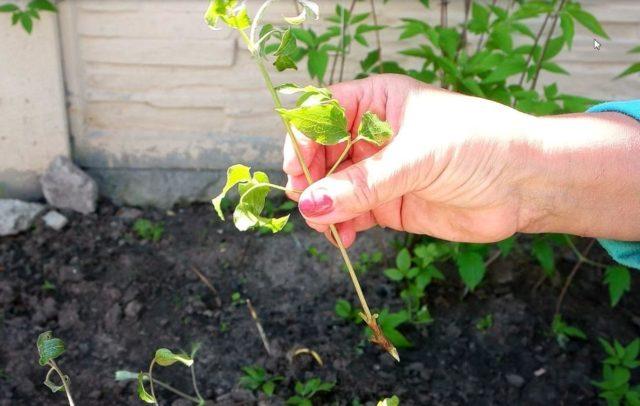 Успешное выращивание клематисов в холодной Сибири