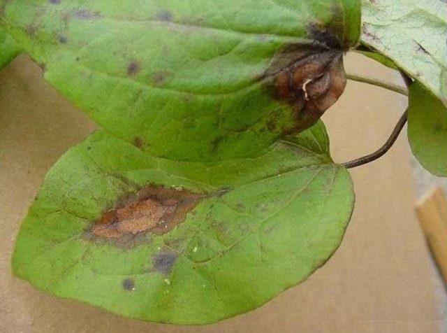 Самые опасные болезни и вредители клематисов: эффективная защита и борьба