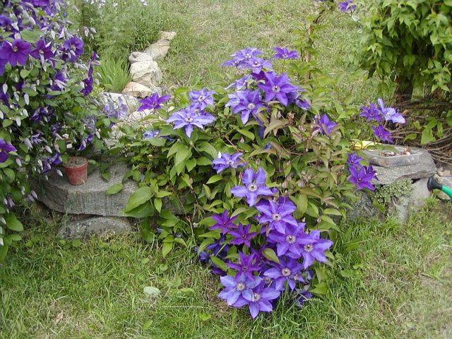 Клематис Президент - эффектное и неприхотливое украшение для любого сада