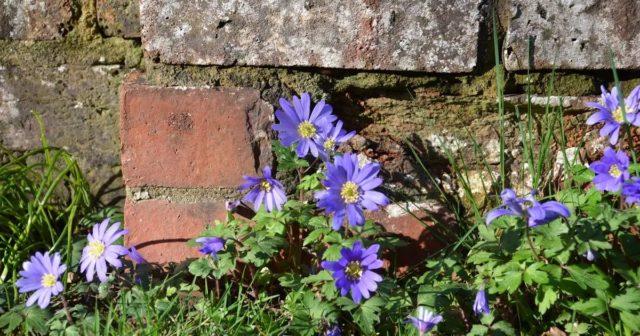 Анемона бланда – весенний первоцвет в вашем саду