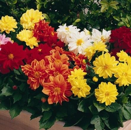 Чудесная георгина Фигаро с колоритными цветками и компактным кустом