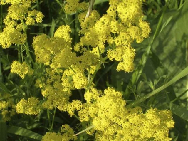 Неприхотливые многолетники для суровой Сибири, цветущие все лето