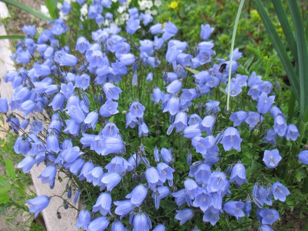 Синие многолетние цветы для дачи