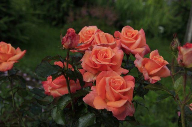 Цветы многолетние посадка и уход в открытом грунте