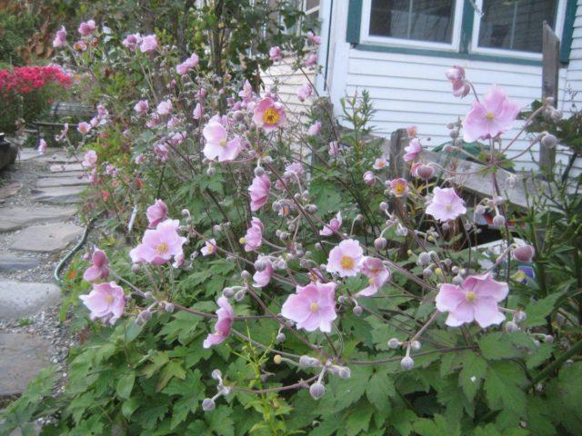 Анемона японская - нежная осенняя красавица, которой не страшны морозы
