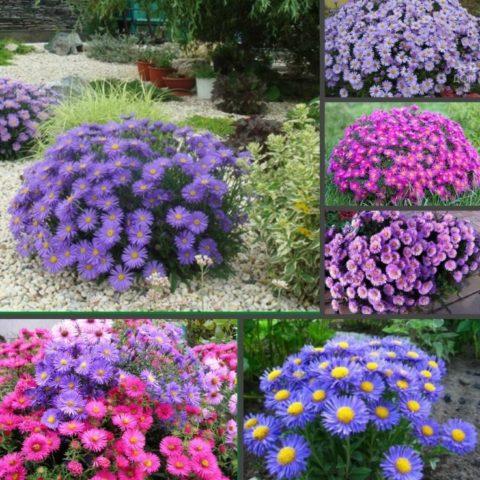 Астра альпийская многолетняя – неприхотливая садовая красавица, цветущая все лето