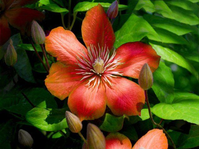 Король лиан Клематис: лучшие сорта и виды с фото и описанием