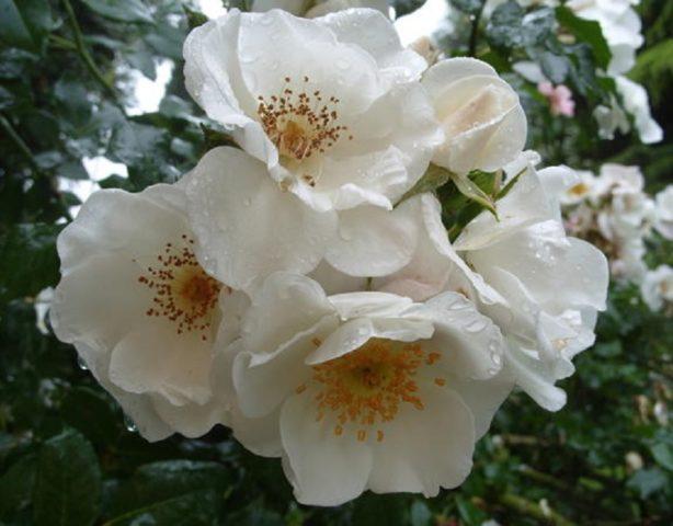 Лучшие сорта почвопокровных роз для создания яркого ковра в саду