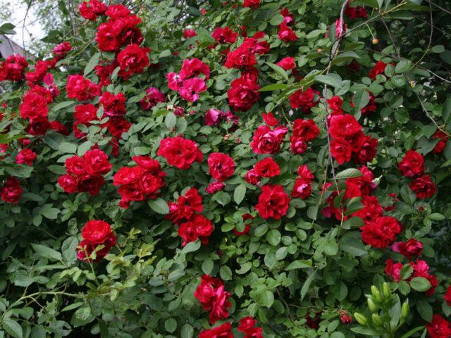 Завораживающая роза Симпатия с огромными цветами, собранными в гроздья