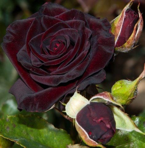 Роскошная роза Черная королева с редчайшей расцветкой и багровым переливом