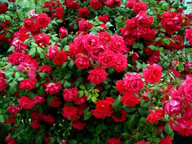 Плетистая роза Сантана с кроваво-красными цветами и бархатным переливом