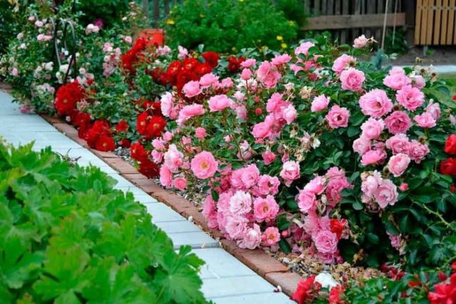 Полиантовая роза: тонкости и хитрости успешного выращивания
