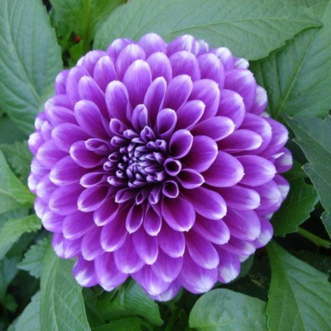 Георгина Блю Бой с цветками удивительной сиренево-голубой окраски