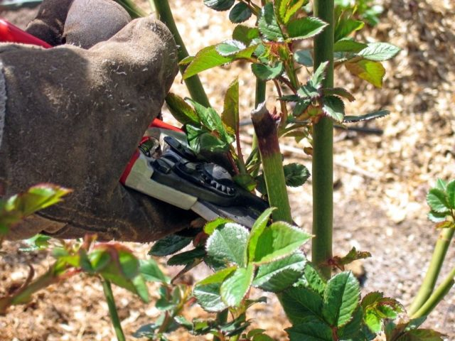 Обрезка кустовых роз весной: пошаговая инструкция для начинающих цветоводов