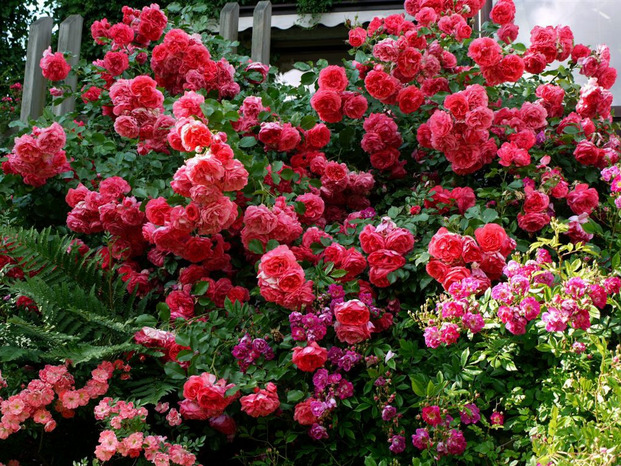 Великолепная Роза Розариум Ютерсен – лавина из пылающих цветов
