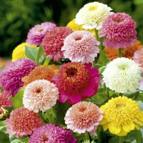Когда и как сеять цинию на рассаду: хитрости от продвинутых цветоводов